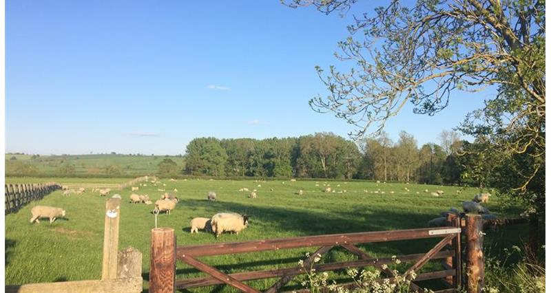 Grazing sheep_65228