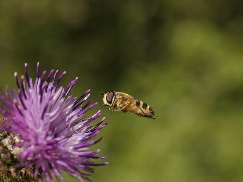 Hover fly_22342