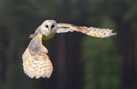 Barn owl in flight_22067