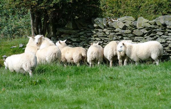 sheep landscape_30449
