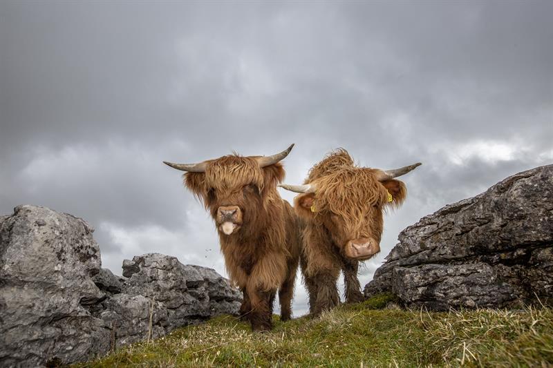Highland cattle_64285