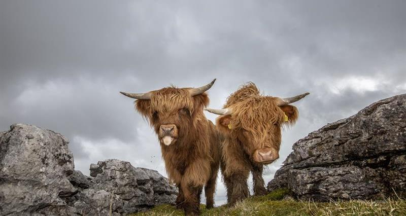 Highland cattle_64285
