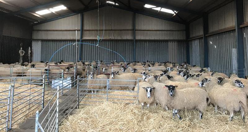 Ewes housed during lambing_68034