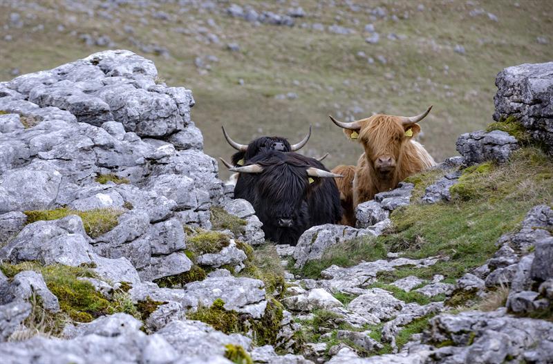 Highland cattle_64283
