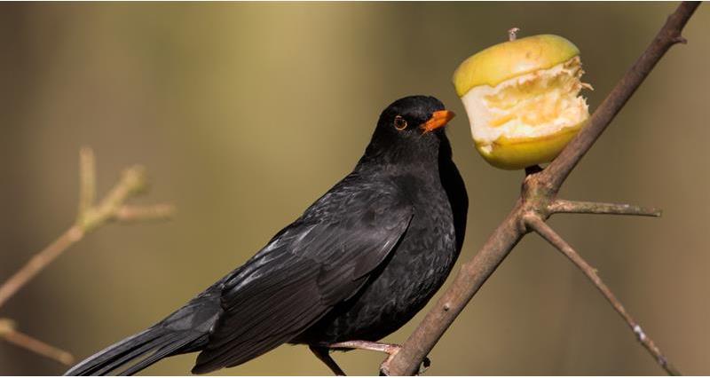Blackbird with an apple_59004