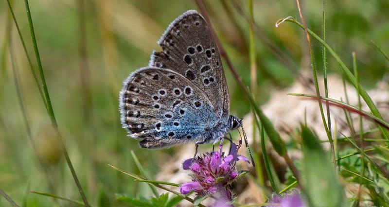 Large Blue Butterfly_64531