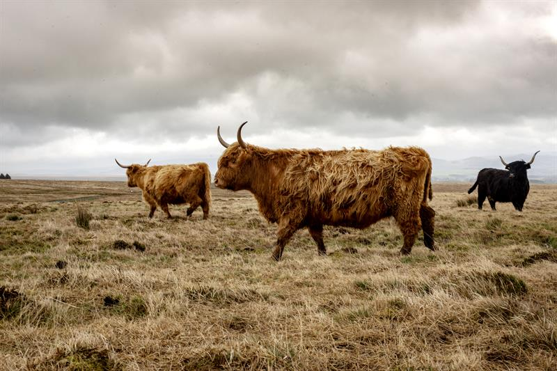 Highland cattle_64282