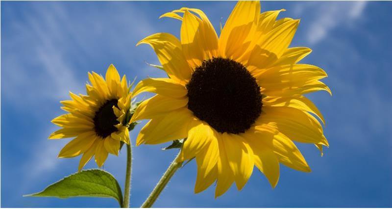 sunflowers_59013