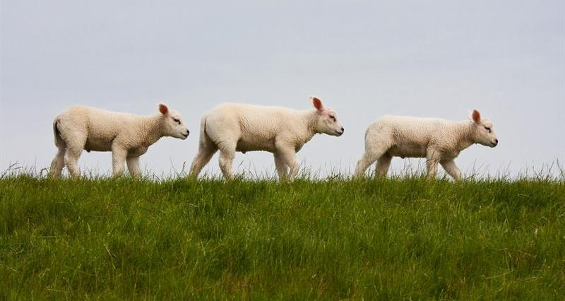 following sheep_69273