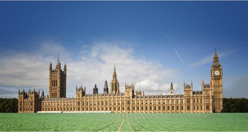 Westminster in front of a field of crops_69858