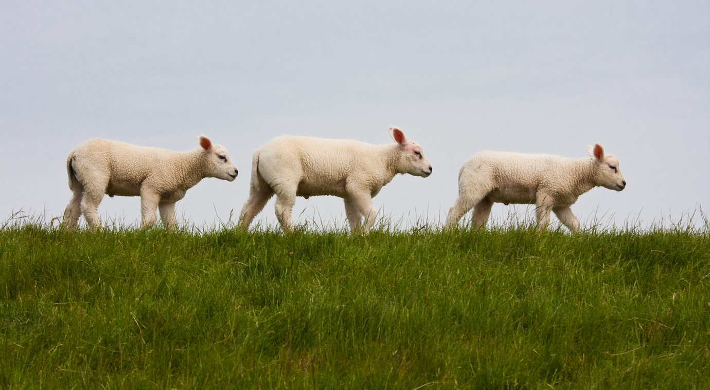 A picture of three lambs following each other
