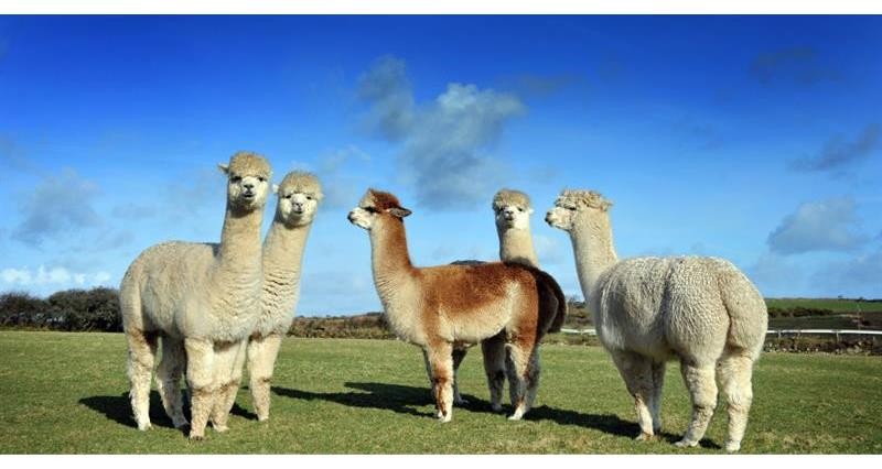 Alpacas: the new herd on the block