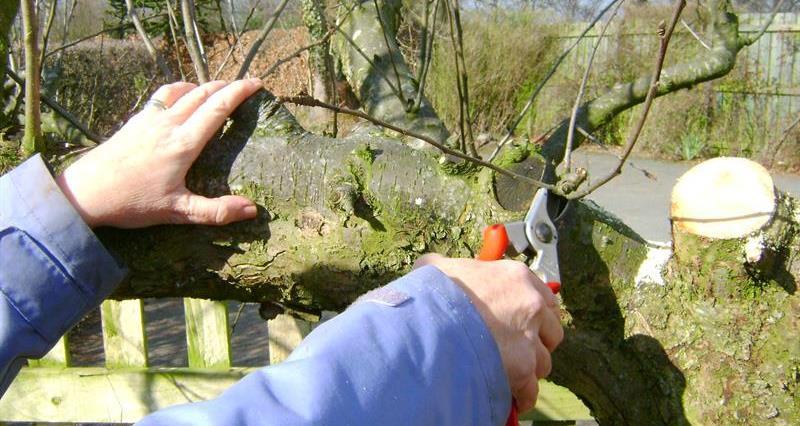 pruning an apple tree_59023