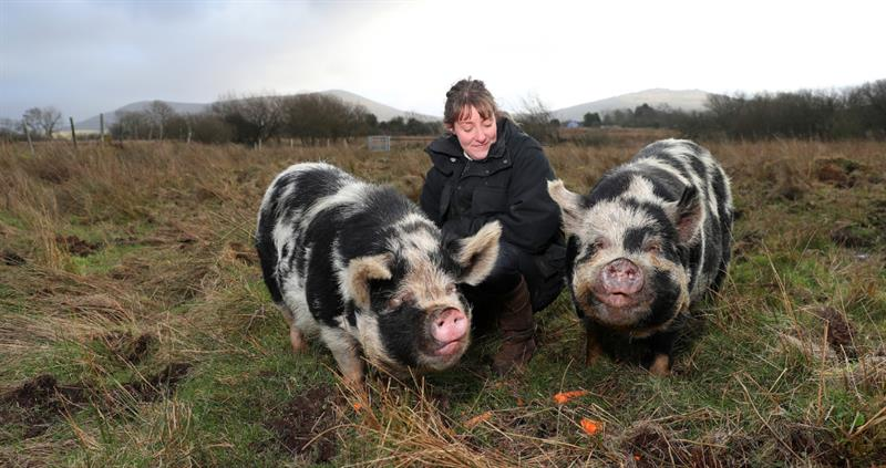 Emma Bennett - Maes Mawr - and her pigs_60189