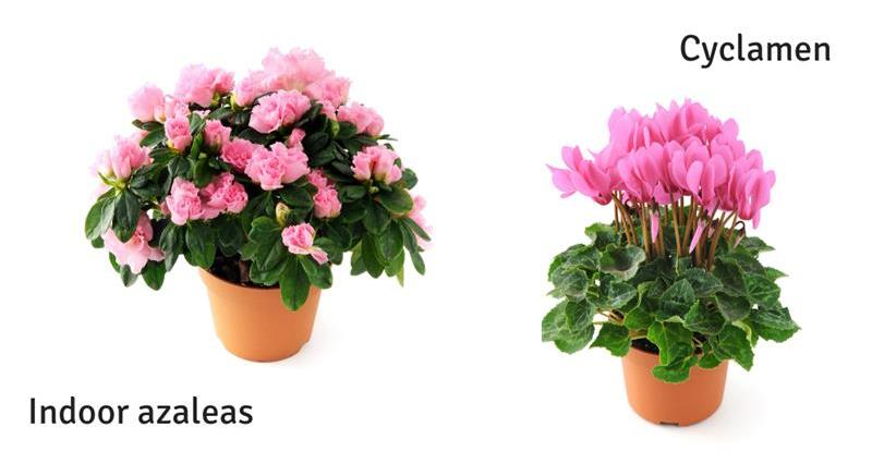 Indoor azaleas and Cyclamen_58968