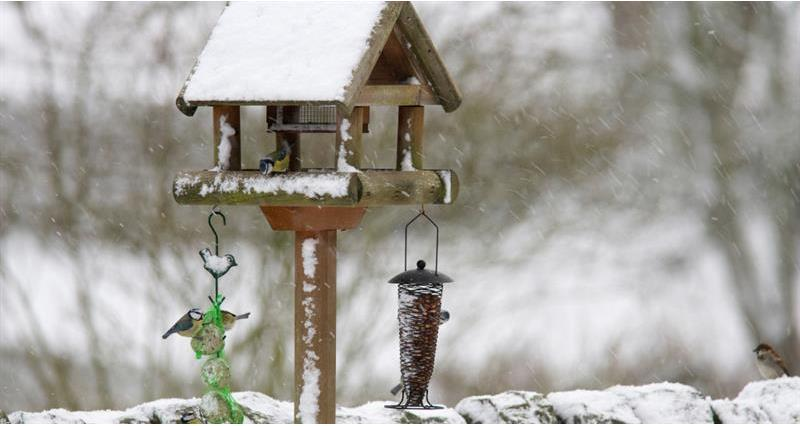 Blue tits at a winter feeder_59012