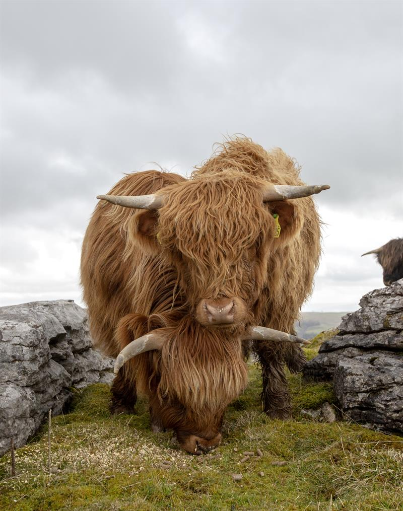 Highland cattle_64284