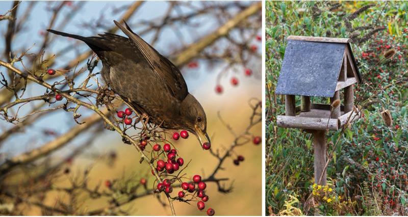 Blackbird feeding on hawthorn and a bird feeding table_59005
