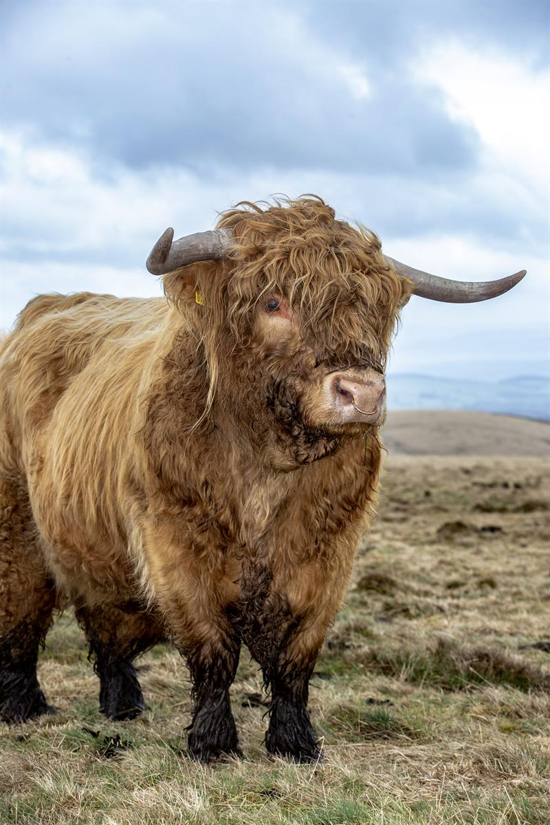 Highland cattle_64279