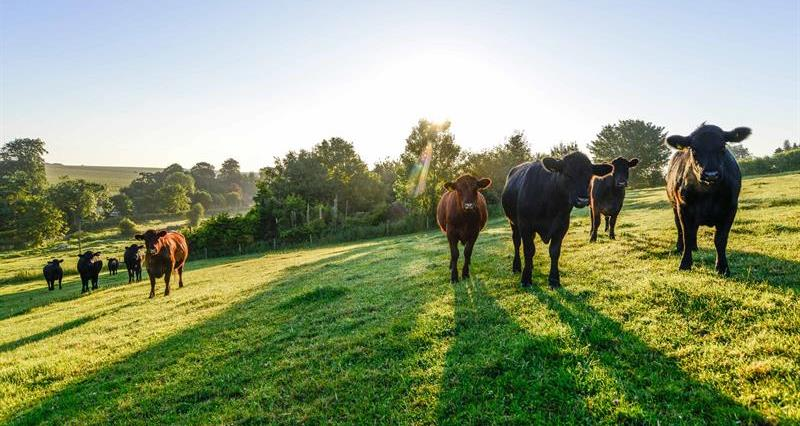 Cattle grazing in the sunshine_72214