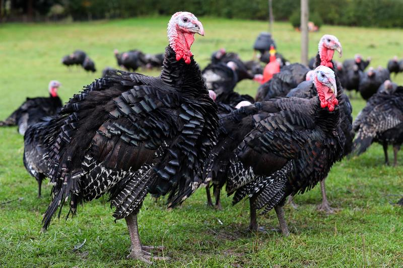 Jade Stock turkeys_70911