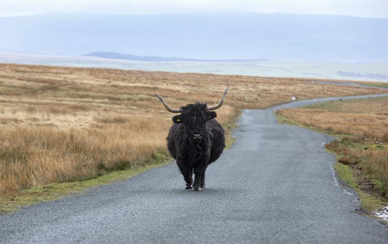 Highland cattle_64277