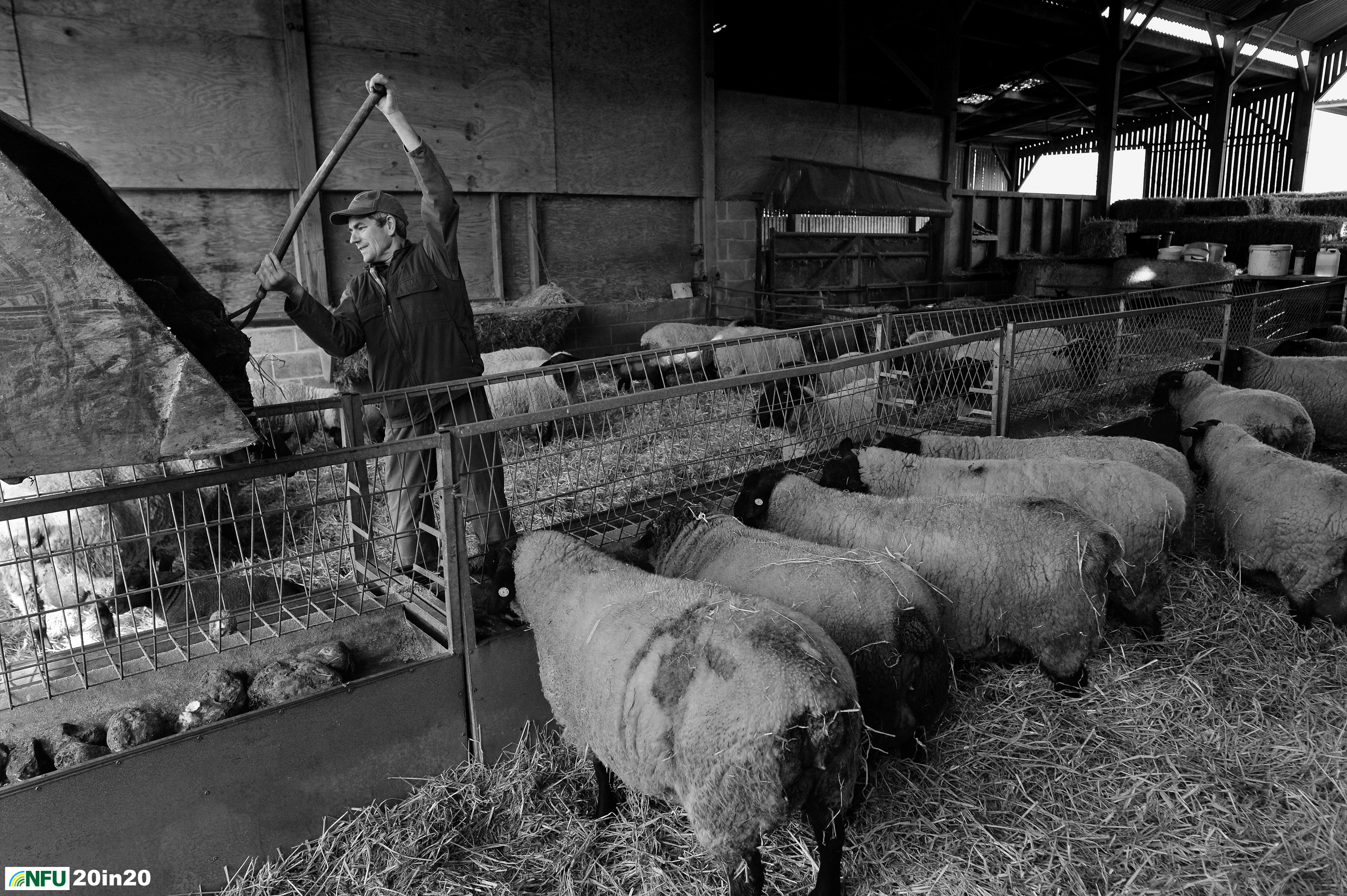 <h4>Suffolk lambs</h4><p>Chris Partridge feeding hungry expectant ewes at Kersey Tye. The flock includes Suffolk Sheep, part of the Suffolk Trinity that also includes the Suffolk Punch and Red Poll cattle. Photo: Nikon D4 + 24mm F1.8 1/400 @ F5 ISO 1000</p><p>Warren's comments: <em>Lambing - not exactly a precise science I was to discover. I went over to Kersey Tye and spent the afternoon in the farmyard waiting for a birth. No newborn lambs were forthcoming unfortunately, so I took shots of the activity in the pens. Sadly, I never got to go back and try again because of the Covid-19 lockdown.</em></p>