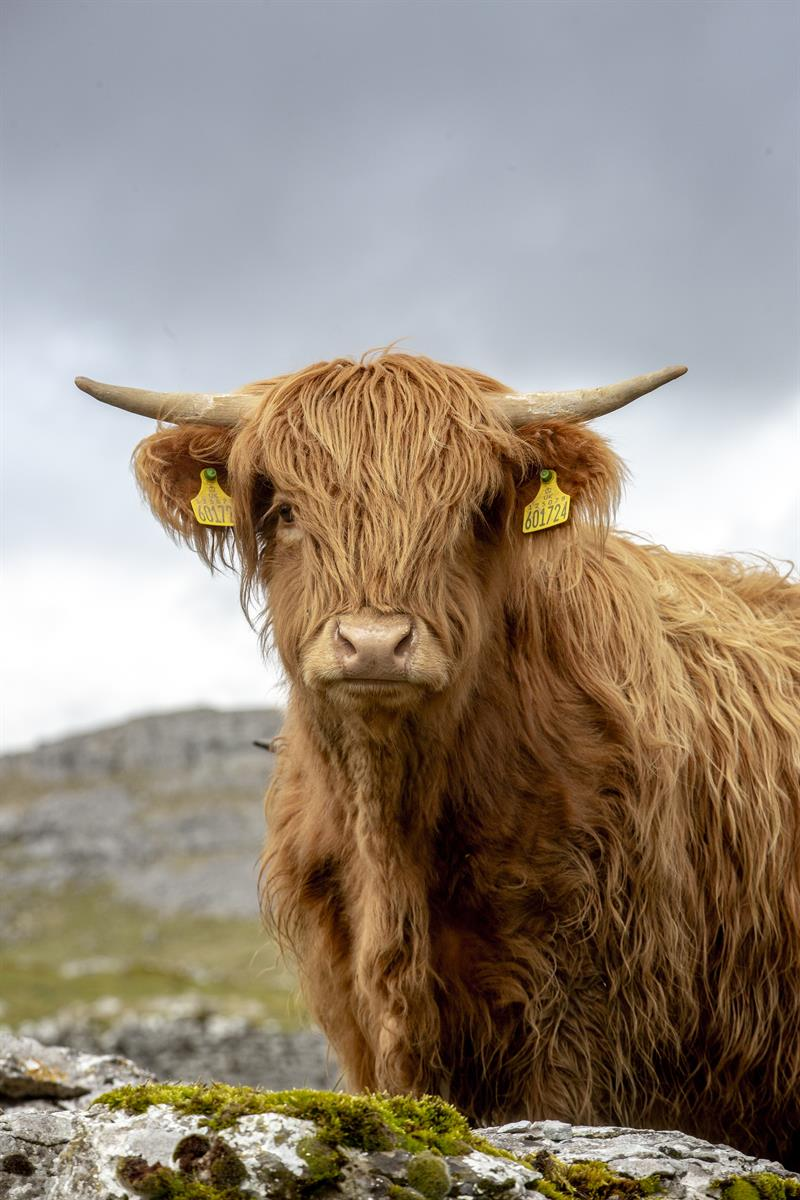 Highland cattle_64286