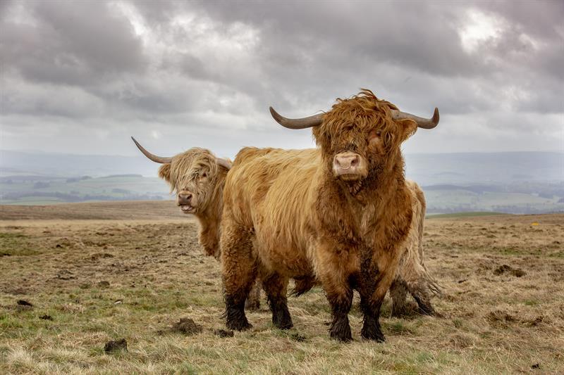 Highland cattle_64281
