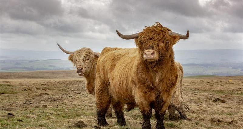 Highland cattle_64281