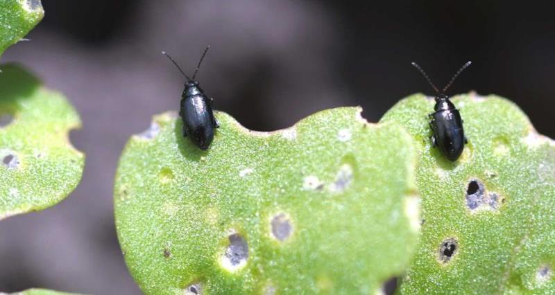 Flea Beetle_30039