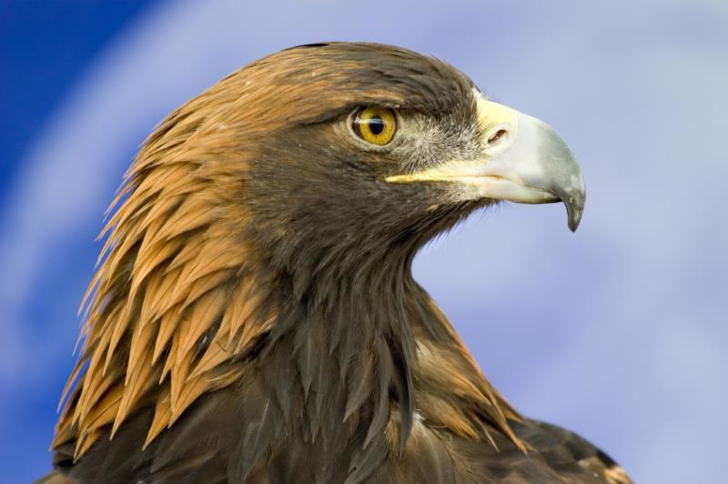 Golden eagle_12454