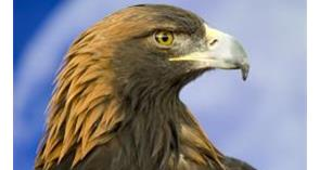 Position Statement: Possible reintroduction of the Golden Eagle