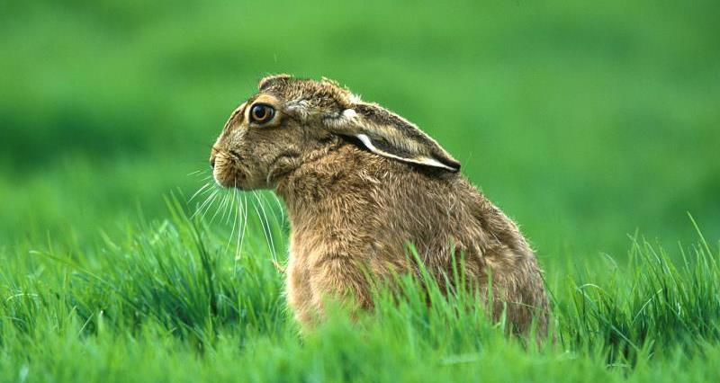 Brown hare @ Whitfield Benson_19650
