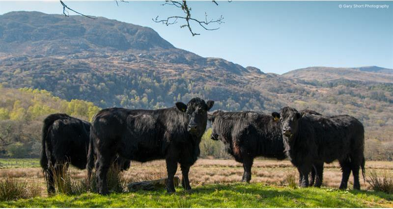 Collaborative action needed to support Welsh beef farmers