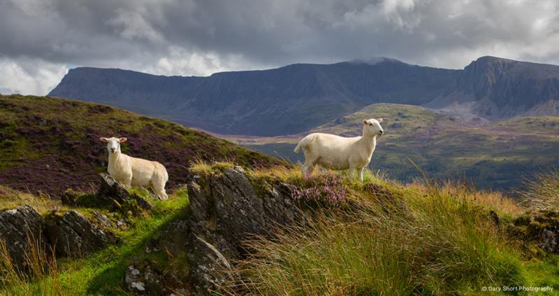 Cader Idris, Sheep_59451