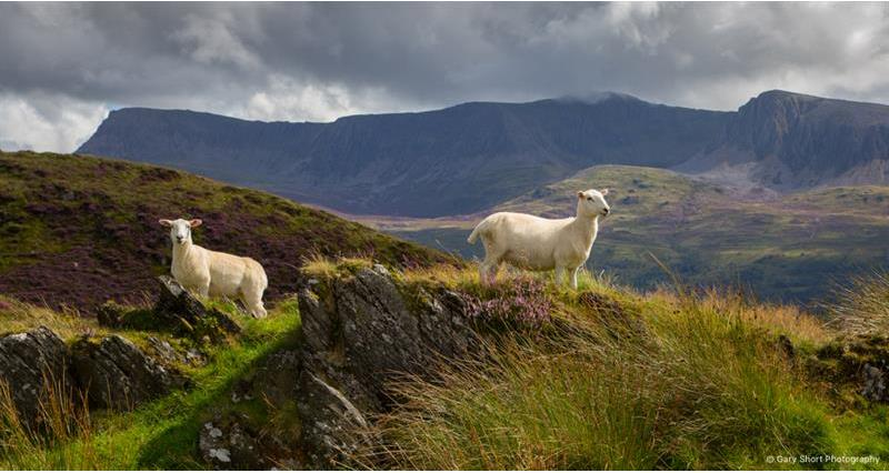 Cader Idris, Sheep_59451