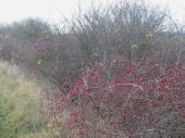 Uncut hedgerow, Nottinghamshire, birds, food, habitat_24412