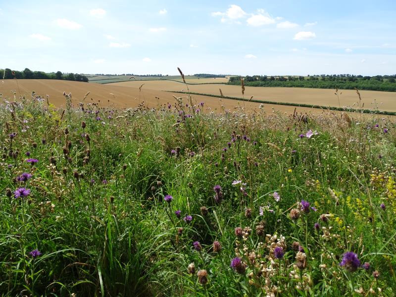 Wildflower field margin_45162