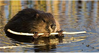Beavers and flooding: The impact on British farms