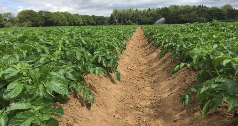 Taylorgrown potatoes_46286