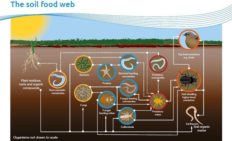 ahdb the soil food web_64444