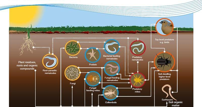ahdb the soil food web_64444