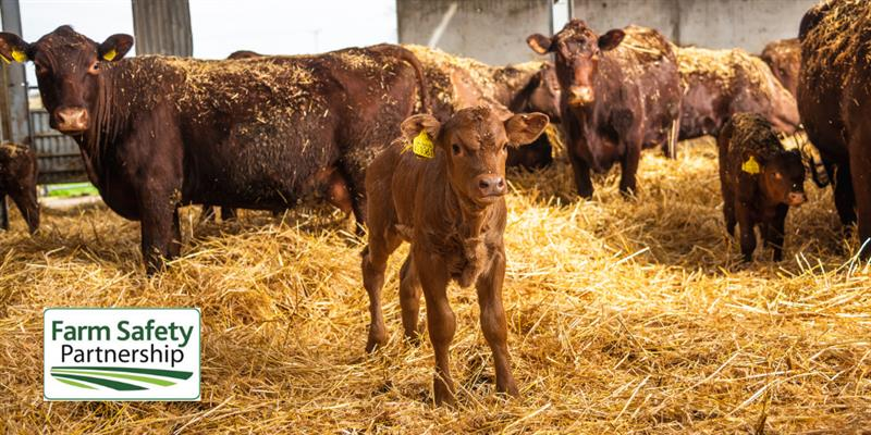 Cows and calf_63138