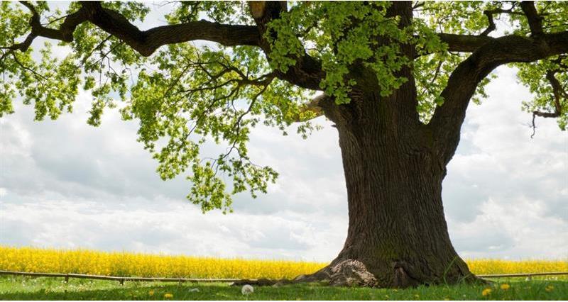 Oak tree_59460
