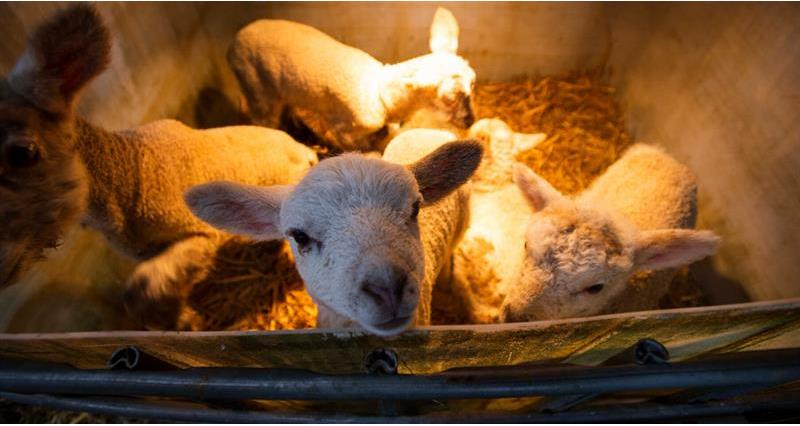 Charlie Beaty Lambing March 2020_72832