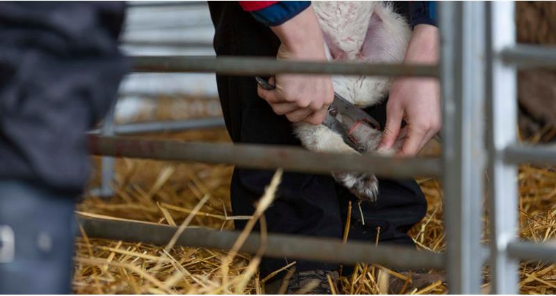 Charlie Beaty Lambing March 2020_72838
