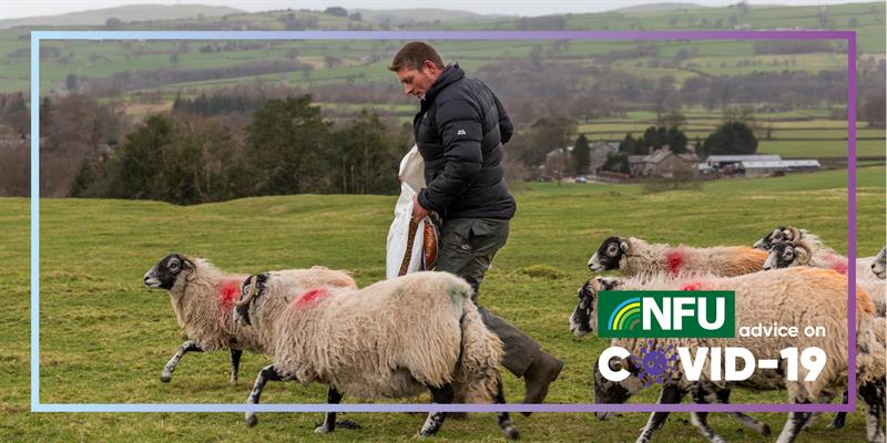 COVID 19 Contingency planning: Farming Family image of man feeding sheep_72991