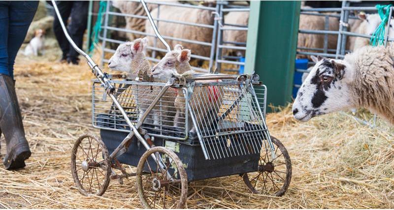 Charlie Beaty Lambing March 2020_72833