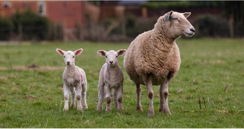 Charlie Beaty Lambing March 2020_72836